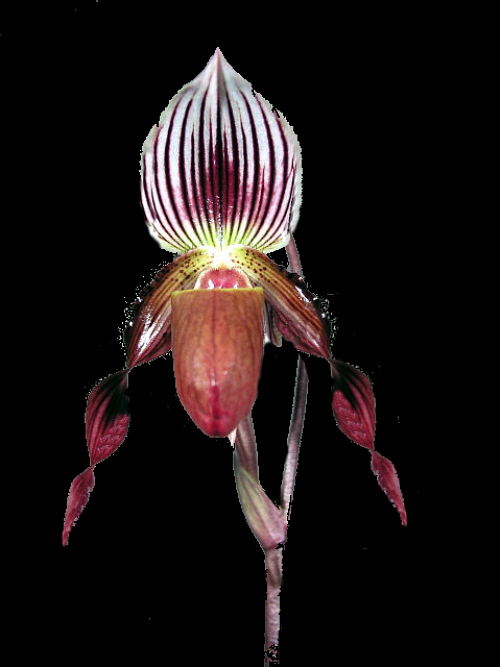 Paph.Sable_Knight