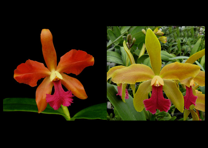 Cattleya Seed Crosses